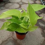 형광스킨/칼라스킨/공기정화식물|
