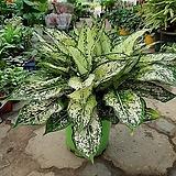 사파이어대품/공기정화식물/근이네식물원|Echeveria Sapphire