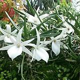 풍란.앙그레컴 디디에이.흰색.(깨끗한색의꽃).물건상태굿.|
