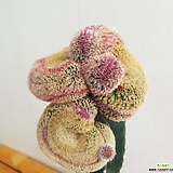 자태양철화 15|Echinocereus rigidissimus Purpleus