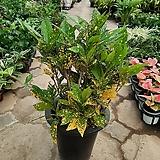 점박이크로톤|Codiaeum Variegatum Blume Var Hookerianum