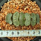 150 옥선|Haworthia truncata