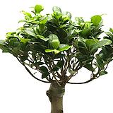 팬다고무나무(가지마루)|Ficus elastica