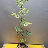 은엽아카시아(외목대)  수입식물  잎이 특이한아이에요|