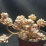 베라하긴스자연군생|Graptopetalum Mirinae