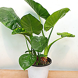 알로카시아 / 잎알로카시아 / 조직배양묘 알로카시아 / 잎알로카시아 / 조직배양묘 / 사진상품발송 / 한빛농원|Alocasia