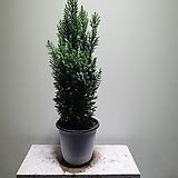 스노우화이트편백 수입편백 공기정화식물 조경수 406015580 