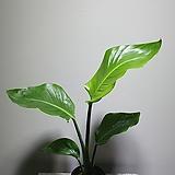 공룡 극락조 공기정화식물 반려식물 40607940 