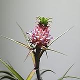 진짜파인애플나무 열매 공기정화식물 반려식물  608014970 