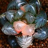 블랙자옵튜사금 1|Haworthia var. obtusa(purple)