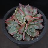 아우렌시스 90|Echeveria Laulensis