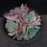 아우렌시스 93|Echeveria Laulensis