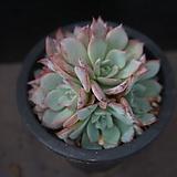 아우렌시스 94|Echeveria Laulensis