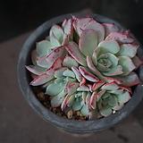 아우렌시스 96|Echeveria Laulensis