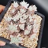화이트그리니컷팅군생 묵은둥이 Dudleya White gnoma(White greenii / White sprite)