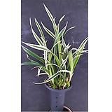 천금(대)/난/동양란/서양란/풍란/공기정화식물/꽃/식물/나라아트|