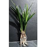 산천조(4-5촉)/난/동양란/공기정화식물/꽃/분재/나라아트|