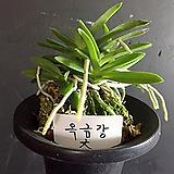 옥금강(대)/난/풍란/나라아트/동양란/공기/꽃/향/취미/부귀란/공기정화식물/식물/난농장/나라아트|