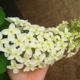 목수국-흰색아이스플라워대품 Hydrangea macrophylla