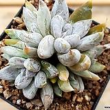 토리마넨시스031|Echeveria tolimanensis
