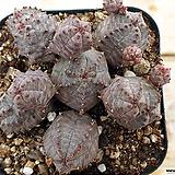 오베사031|Baseball Plant (Euphorbia obesa)