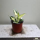 비비추 공기정화식물 월동가능 소품 10202915 