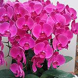 호접란(대륜 빨강색).꽃만개.꽃형큰형.대표적인빨강색형.인기상품.|
