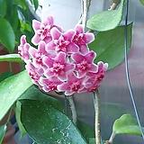 호야 꽃피여요|Hoya carnosa