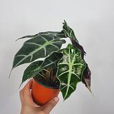거북알로카시아 / 알로카시아 / 조직배양묘 / 공기정화식물 /한빛농원|Alocasia