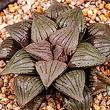 스프링 x 픽타 실생(Spring x picta 實生)-06-10-No.2033|Haworthia picta