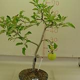 사과나무6번 
