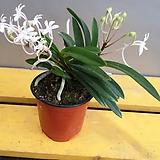 소엽풍란(중품)( 흰색꽃이 피면   은은한향이 나오는 아이에요)|