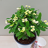 노랑꽃기린(꽃대중품) 