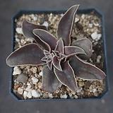 라벤다힐 100|Echeveria Garniclar (Lavender Hill)