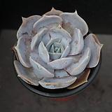 릴리시나 28|Echeveria lilacina