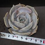 릴리시나 29|Echeveria lilacina