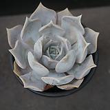 릴리시나 31|Echeveria lilacina