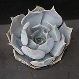 릴리시나 32|Echeveria lilacina