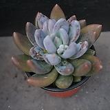 자려전 34|Pachyveria oviferum cv . shireiden