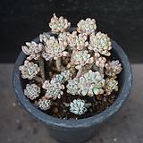 블루빈스 44|Graptopetalum pachyphyllum Bluebean