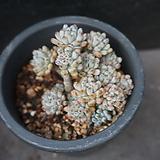 블루빈스 45|Graptopetalum pachyphyllum Bluebean