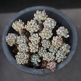 블루빈스 46|Graptopetalum pachyphyllum Bluebean