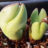 코노피튬 일반종 bilobum 씨앗 10립 (황금파 CS031)|Conophytum