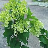 목수국 여름에피는꽃 월동|Hydrangea macrophylla