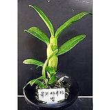 유키다루마킹/난/동양란/일본란/풍란/서양란/공기정화식물/공기/석곡/화분/식물/농장/나라아트|