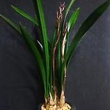 산천보세(4-5촉)/동양란/풍란/서양란/난/공기정화식물/화분/농장/나라아트|