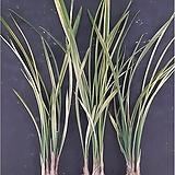 팔보기전(4-5촉)/난/공기정화식물/식물/동양란/서양란/농장/명품란/나라아트|