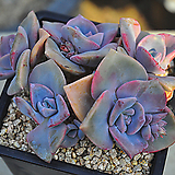 집시(O032)|Graptoveria Mrs Richards
