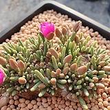 알스토니 Avonia quinaria ssp Alstonii