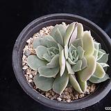 온슬로우904 Echeveria cv  Onslow
